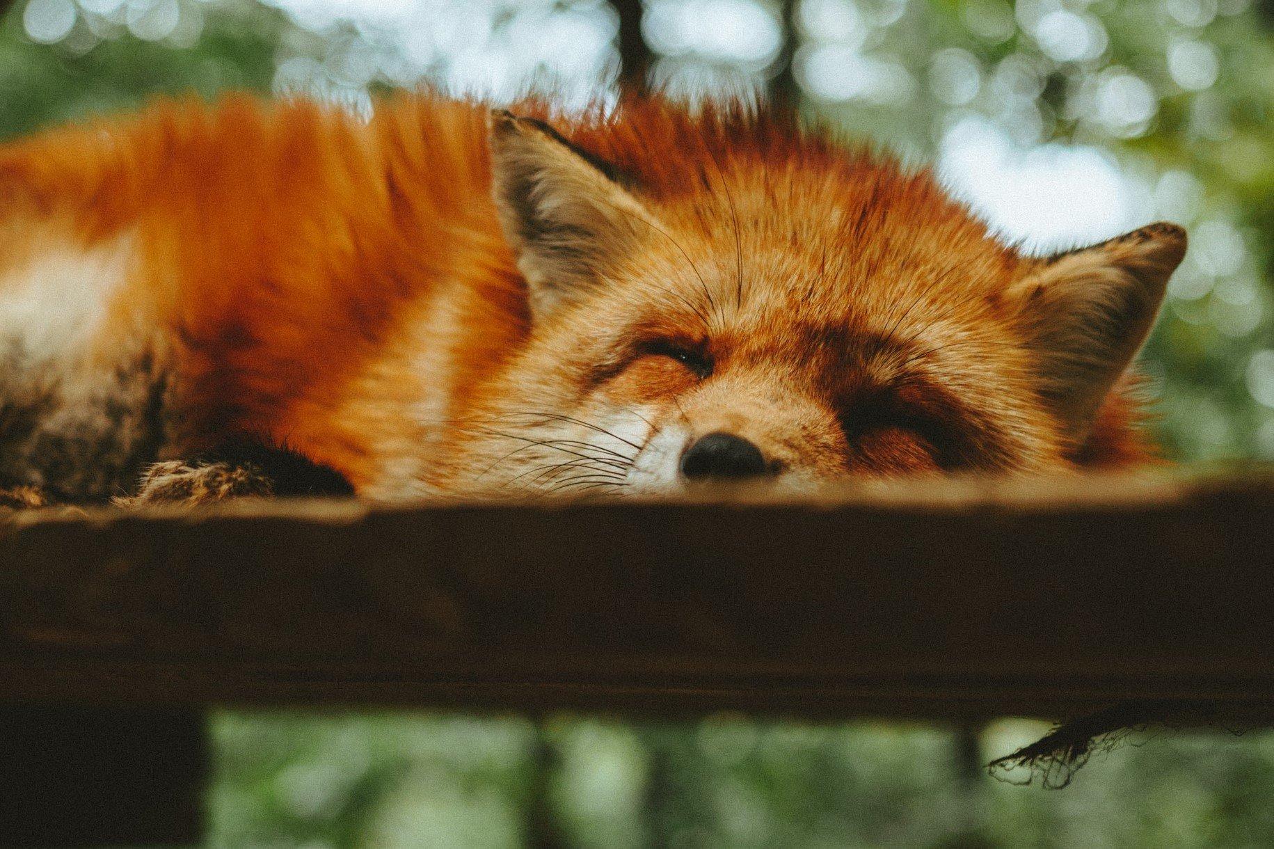 Snoozing fox